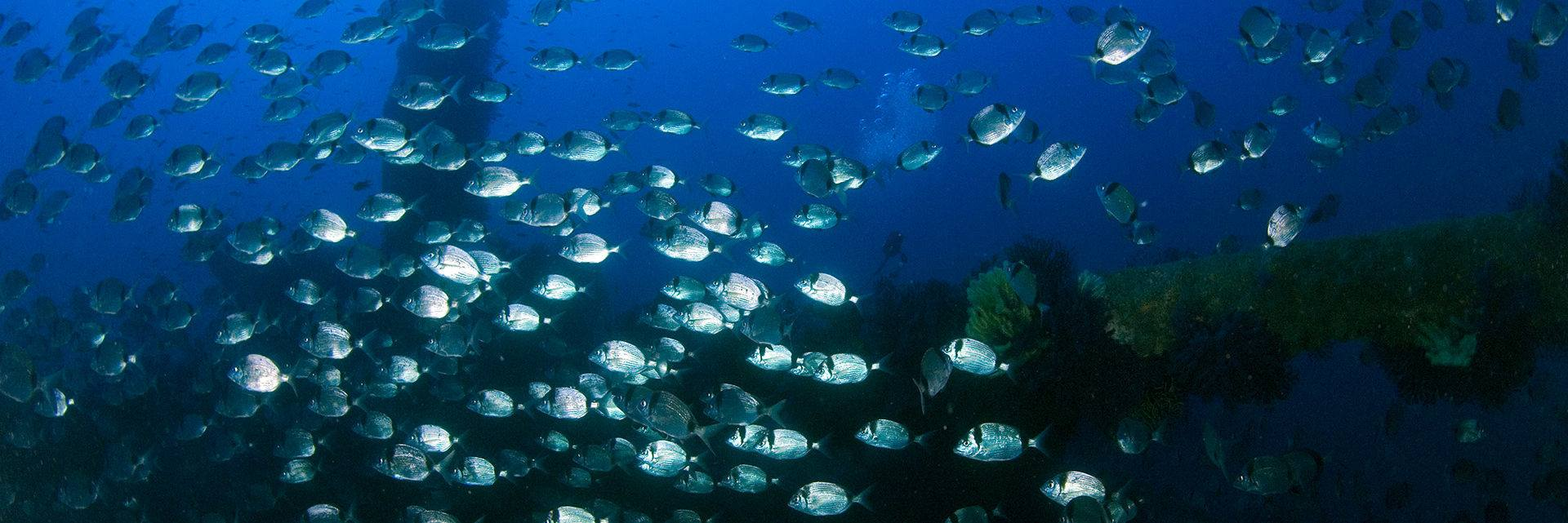 Shoal of sea bream on the Donator between Porquerolles and Port Cros