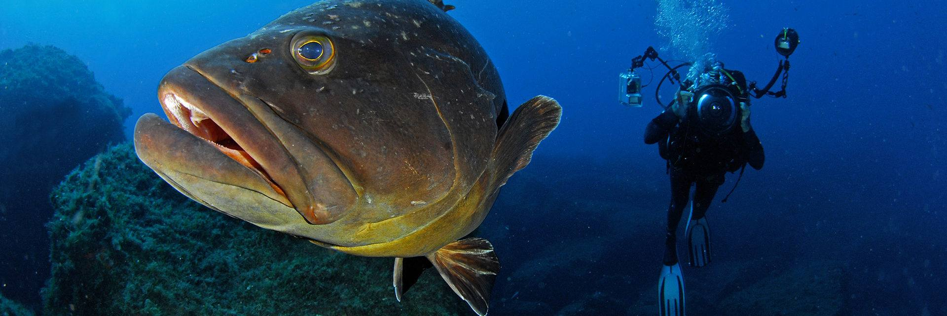 Brown grouper fish and diver
